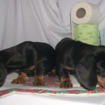chiot 16.11.2008